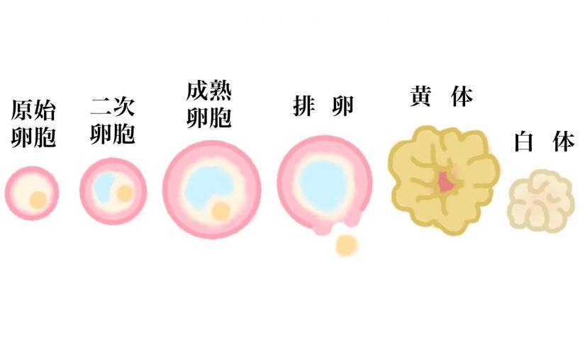 楽しい妊活 その6|卵子の話し、卵胞期の過ごし方